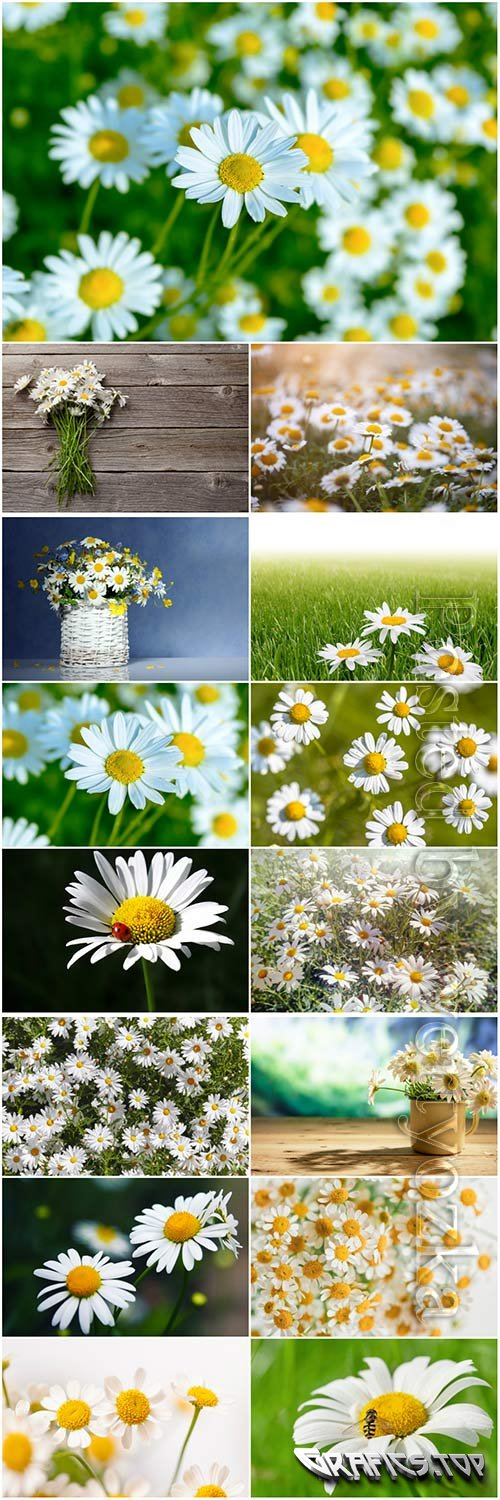 White daisies beautiful stock photo